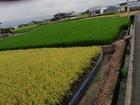 田んぼのコントラスト