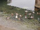 御手洗川の鴨&1羽だけアヒル
